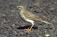 Berthelot's Pipit - Anthus berthelotii