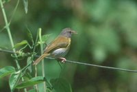 Ashy-headed Greenlet - Hylophilus pectoralis