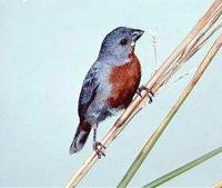 * Chestnut Bellied Seedeater