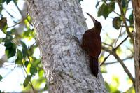Great  rufous  woodcreeper   -   Xiphocolaptes  major   -