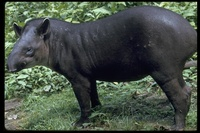 : Tapirus terrestris; South American Tapir