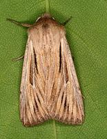 Mythimna comma - Shoulder-striped Wainscot