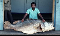 Lates niloticus, Nile perch: fisheries, aquaculture, gamefish