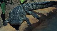 Image of: Crocodylus intermedius (Orinoco crocodile)