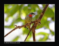 Flame-breasted Flowerpecker - Dicaeum erythrothorax