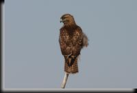 Red-tailed Hawk, Croton Point Park, NY