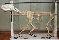 Photograph of a Brown Hyena skeleton