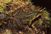 : Rana clamitans; Green Frog