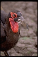 : Bucorvus leadbeateri; Southern Ground-hornbill