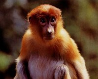 photograph of young proboscis monkey