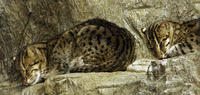 Image of: Prionailurus viverrinus (fishing cat)