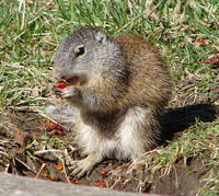 Image of: Spermophilus franklinii (Franklin's ground squirrel)