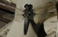 Image of: Libellula julia
