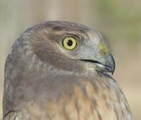 Image of: Circus cyaneus (northern harrier;hen harrier)