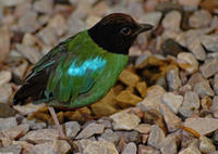 Image of: Pitta sordida (hooded pitta)