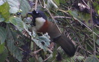Chestnut-backed Laughingthrush - Garrulax nuchalis