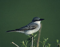 Gray Kingbird (Tyrannus dominicensis) photo