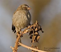 Brown-rumped Seedeater - Serinus tristriatus