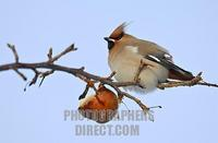 Bohemian Waxwing on a branch stock photo