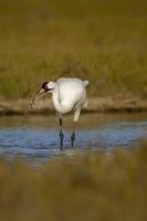 Whooping Crane , Grus americana , Total population approx . 300 birds , Aransas National Wildlif...