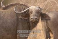 Cape buffalo with broken horn stock photo