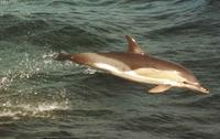 Short-beaked Common Dolphin photographed during a FONT tour