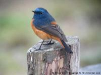 Blue-fronted Redstart, Phoenicurus frontalis