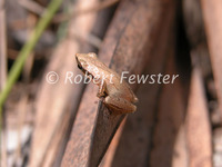 : Pseudacris ocularis; Little Grass Frog