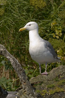 : Larus glaucescens; Glaucous Winged Gull