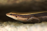 Mabuya macularius   Little Skink photo