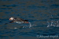 Fratercula arctica - Atlantic Puffin