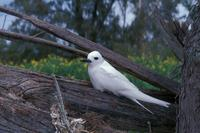 Gygis alba - Common White-Tern