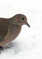 Image of: Zenaida macroura (mourning dove)