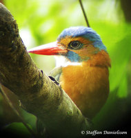 Green-backed Kingfisher - Actenoides monachus