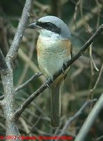 Grey-backed Shrike - Lanius tephronotus