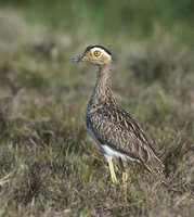 Double-striped Thick-knee (Burhinus bistriatus) photo
