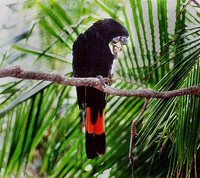 Red-tailed Black-Cockatoo - Calyptorhynchus banksii