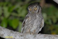 Tropical Screech-Owl - Megascops choliba