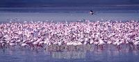 ...flamingos on the lake in Ngorongoro Crater . The Flamingos are feeding . Family : Phoenicopterid