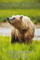 ...Coastal Brown Bear , ( Ursus arctos ) Eating grass along the coast of Cook Inlet , Lake Clark Na