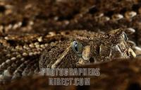 Mexican rattlesnake stock photo