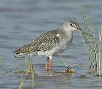 Spotted Redshank p.138