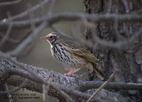 Indian Tree Pipit Anthus hudgsony 힝둥새