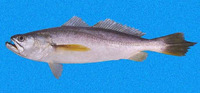 Macrodon mordax, Dogteeth weakfish: fisheries