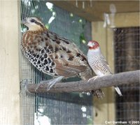 mountain bamboo partridge, Bambusicola fytchii with red-headed finch