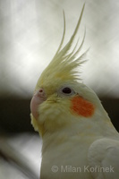 Nymphicus hollandicus - Cockatiel