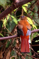 Red-headed Trogon - Harpactes erythrocephalus