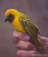 Southern Brown-throated Weaver - Ploceus xanthopterus
