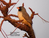 Black-throated Saltator - Saltator atricollis
