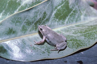 : Gastrophryne olivacea; Great Plains Narrow-mouthed Toad